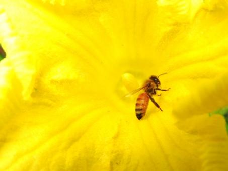 みつばち ミツバチ 蜜蜂 みつ蜂 はち ハチ 蜂 虫 花粉 蜜 カボチャの花 南瓜の花 かぼちゃの花 季節 7月 8月 夏 素材 材料 自然 風景 背景 アップ 生き物 生者 いきもの 生きもの 花 植物 黄色い花 黄色