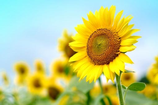 夏 季節 空 青空 ひまわり ヒマワリ 向日葵 花 植物 ひまわり畑 花びら 種 タネ 景色 風景 緑
