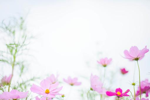 秋の風景 コスモス アキザクラ 秋桜 コスモス畑 花畑 花園 空 桃色 ピンク 緑 植物 花 草花 一面 満開 散歩 散策 自然 風景 景色 真心 のどか 鮮やか 華やか 美しい 綺麗 明るい 余白 空間 ボケ味 ピントぼけ