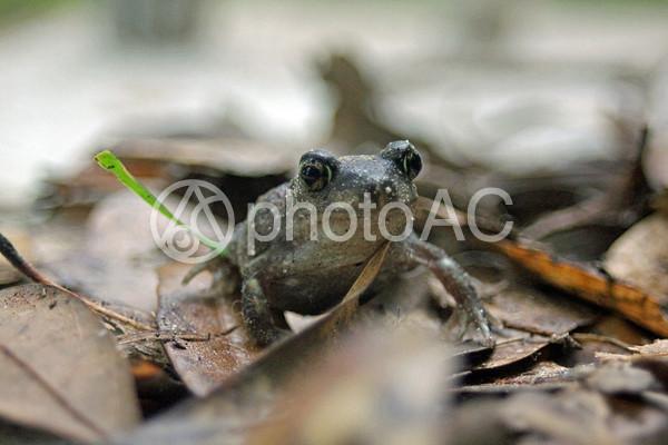 枯れ葉と蛙2の写真