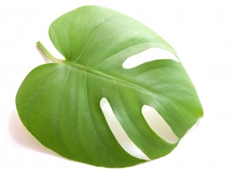 葉 モンステラ 観葉植物 ハワイ 南国 熱帯 植物 背景白