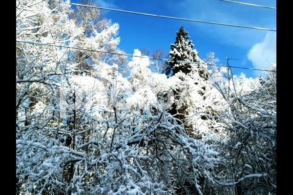木に積もる雪の写真