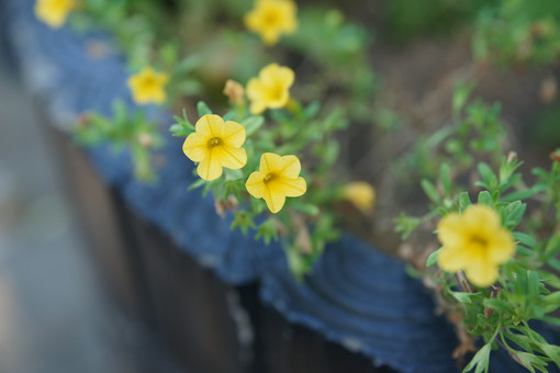 小さな黄色い花 黄色い花 花 はな 植物 草花 自然 接写 クローズアップ アップ 小さい花 花びら 茎 葉 ぼかし 園芸 ガーデニング 庭 栽培 自生 野生 開花 満開 鮮やか 華やか 黄色