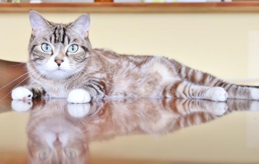 ネコ 猫 ねこ トラ猫 見る猫 可愛い猫 猫ちゃん 見つめる猫 茶トラ猫 狙う猫 カメラ目線の猫 じっと見つめる猫 テーブルの上の猫 まっすぐ前を見る猫 じっと見る猫 何かを狙う猫 直視する猫 狙いを定める猫
