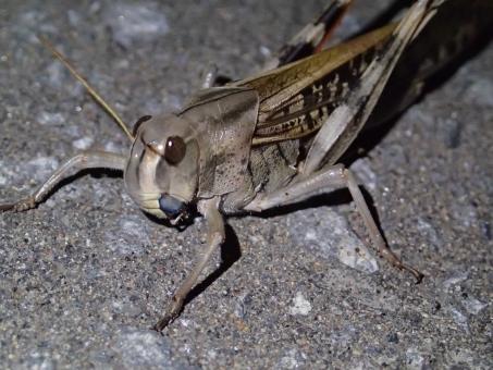 むし 虫 ムシ ばった バッタ トノサマ とのさま 殿様 褐色 とのさまばった トノサマバッタ 殿様ばった 殿様バッタ