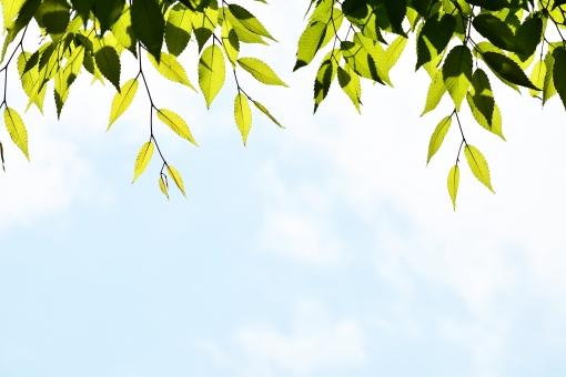 新緑 しんりょく 3月 4月 5月 6月 葉 葉っぱ 緑 黄緑 みどり きみどり 自然 綺麗 爽やか 見上げる 人気 植物 樹木 新鮮 森 林 公園 グリーン 暖かい 季節 若草色 若葉 木洩れ日 木漏れ日 こもれび 明るい 気分 最高 気持ちが良い 空気 クリーン 森林浴 背景 テクスチャ 壁紙 バックグラウンド ヒーリング リラックス 癒し マイナスイオン 初夏 夏 春 リラクゼーション 涼しい セラピー エコ eco アップ 接写 至近距離 青空 景色 空 雲 くも 晴れやか