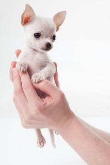 ポーズ 動物 生物 生き物 哺乳類 ほ乳類 犬 いぬ イヌ ドッグ チワワ チワワ こいぬ 仔犬 子イヌ パピー かわいい 可愛い 赤ちゃん 抱っこ 手 包む 持ち上げる 小さい 白背景 白バック グレーバック 十二支 干支 戌