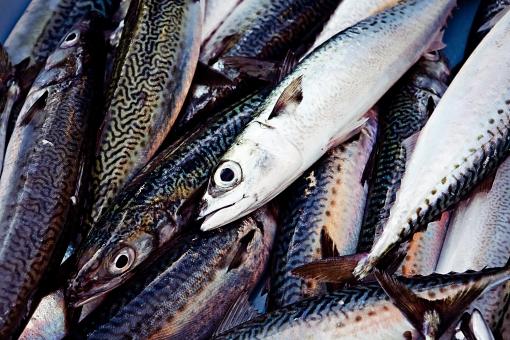屋外 野外 漁 海上 漁獲 漁り 魚 獲る 漁業 海 水揚げ 大量 大漁 釣り 漁獲 早朝 船 船上 漁船 引き揚げ 捕獲 青魚 クローズアップ