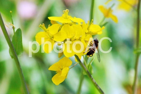 菜の花とハチの写真