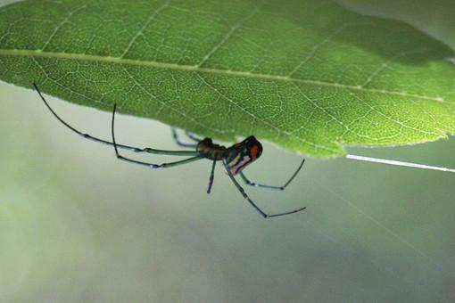 スパイダー くも 蜘蛛 クモ スパイダー 毒蜘蛛 毒グモ 昆虫 クモの巣 蜘蛛の巣 くものす 自然 アップ 野生 森 ムシ 虫 生き物 コレクション ペットショップ 1匹 黒 植物  果樹園 葉 赤 斑点