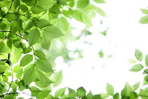 自然 風景 植物 樹木 木の葉 葉っぱ 緑の葉っぱ 新緑 若葉 新芽 初夏イメージ 初夏 夏 四月・五月 光 光透過光 六月・七月・八月 暑中見舞い 森林 公園 ポストカード 待ち受け画像 コピースペース 新鮮な バックスペース 背景 テクスチャー 目に青葉 白バック 木漏れ日
