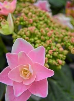 紫陽花 あじさい アジサイ ガクアジサイ ピンク 花びら 八重 アップ 接写 可憐 華やか 鮮やか アート撮影 植物 梅雨