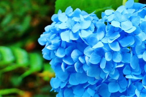 紫陽花 アジサイ 花 六月 梅雨 植物 青い ブルー 青色 クローズアップ 花びら 満開 自然 風景 スナップ 背景