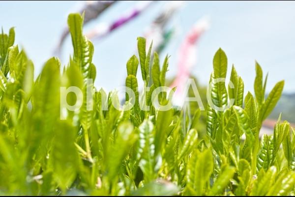 新茶の季節の写真