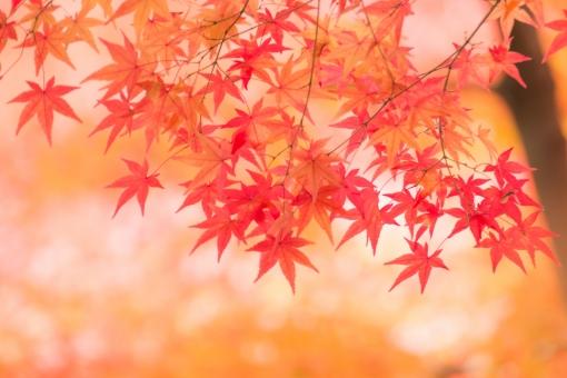 京の紅葉10の写真