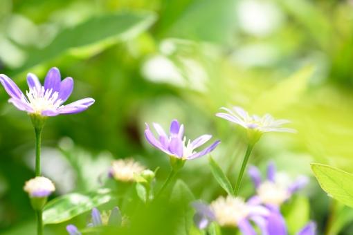 都忘れ ミヤコワスレ みやこわすれ のしゅんぎく ノシュンギク 花 植物 春 4月 5月 6月 紫 紫色 明るい 晴れ 晴天 花壇 ガーデニング 前ボケ ふんわり 壁紙 背景 たくさん いっぱい エアリー エアリーフォト