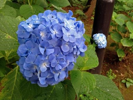 紫陽花 あじさい アジサイ 花 雨 雫 梅雨時 六月 水無月 青 葉 緑 涼