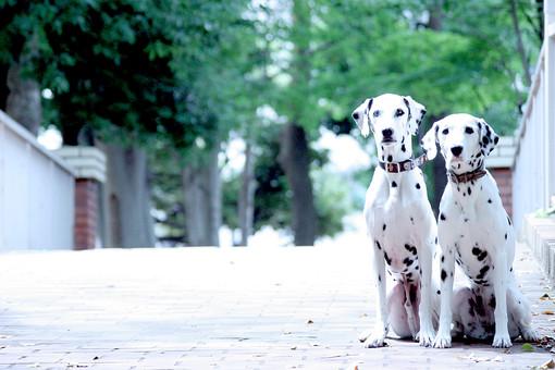 ダルメシアン 犬 かわいい 明るい 動物 生き物 ペット ペットショップ トリミング 動物病院 家族 愛犬 ドッグフード 屋外 飼い犬 癒し 自然 散歩 首輪 アップ 成犬 白黒 ブチ 斑点 並ぶ