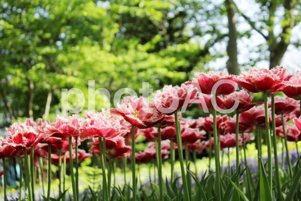 フリンジ咲きチューリップの写真