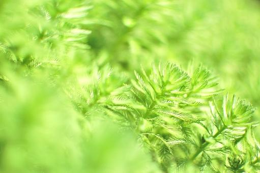 緑 黄緑 ぼかし ぼけ テクスチャー 湖上 池 花 ガーデンプレース, 前ぼけ 屋外 外 自然 植物 花 フラワー 園芸 栽培 ガーデニング 花壇 花畑 アップ 淡い ボケ ぼかし 幻想的 ファンタジー 藻 黄 小さい,新緑