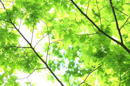 葉 緑 木 新緑 新芽 日本 木の葉 自然 植物 屋外 壁紙 背景 背景素材 バックグラウンド 光  環境 エコ 木漏れ日 こもれび 枝 さわやか 爽やか 初夏 若葉 明るい