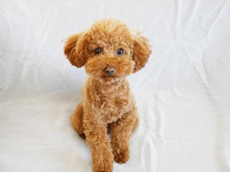 トイプードル プードル トイプー 犬 イヌ 仔犬 子犬 ワンコ わんこ 生き物 動物 動物病院 かわいい犬