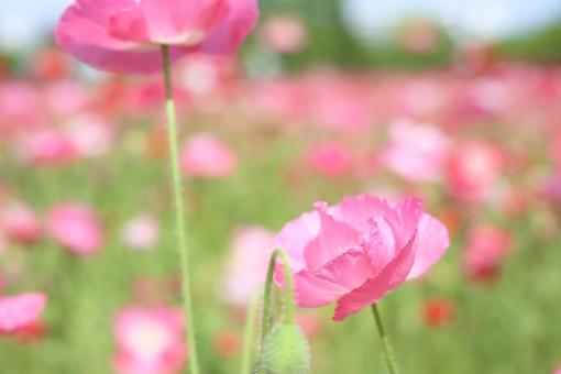 ポピー ピンク 花 初夏 夏の花 5月 5月の花 花畑 お花畑 植物 自然 明るい メルヘン 淡い