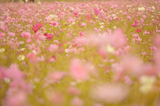 秋の風景 コスモス アキザクラ 秋桜 コスモス畑 花畑 花園 桃色 ピンク 白 緑 植物 花 草花 一面 満開 散歩 散策 自然 風景 景色 真心 のどか 鮮やか 美しい 綺麗 明るい ボケ味 ピントぼけ ぼかし セピア 思い出