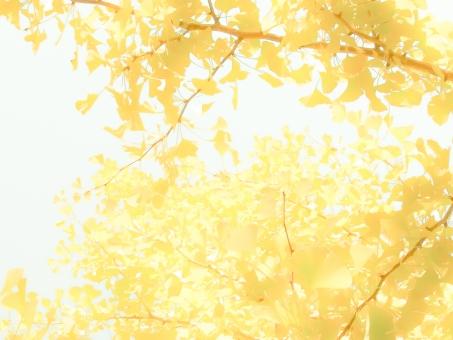 銀杏 いちょう 紅葉 秋 木 黄色 背景 空 壁紙 淡い 明るい 葉 葉っぱ 枝 木漏れ日 日差し 白とび 光