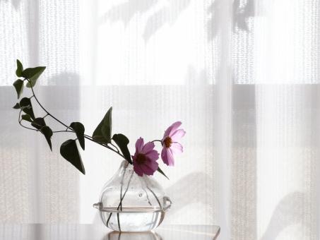 こすもす 秋桜 アイビー ツタ 蔦 つた つる 蔓 ツル レースのカーテン 葉陰 葉影 シルエット 光 生活 一輪挿し ガラス 容器 水 雑貨 室内 屋内 部屋 花を飾る 緑とピンク 花びら 透明感 一人暮らし 綺麗 静か 検査 安らぎ 個室 きれい 落ち着く 入院 病院