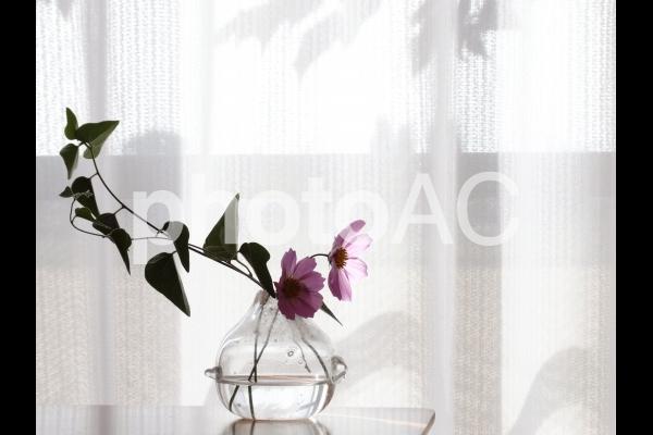 窓辺のコスモスの花瓶の写真