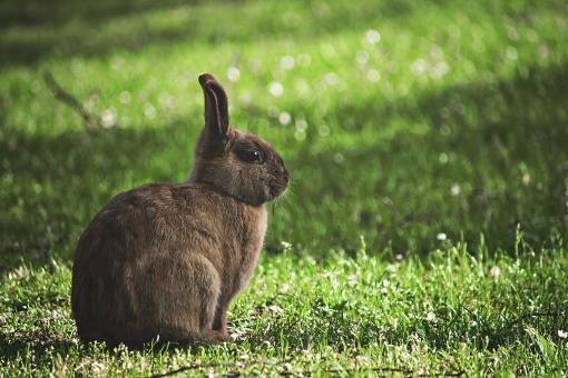 ウサギ うさぎ 兎 自然 動物 草 小さい ペット 目 牧草地 牧場 毛皮 イースター ふわふわ 耳 野ウサギ 動物園 飼育 ペットショップ 生き物 芝生 芝 自然 茶色 茶色いウサギ