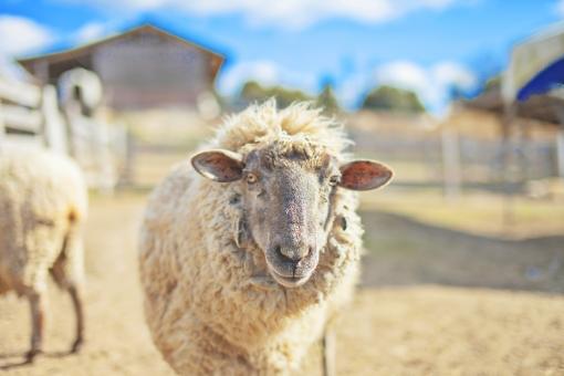 羊 ひつじ ヒツジ シープ 家畜 動物 陸上動物 哺乳類  脊椎動物 反芻動物 動物園 飼育 羊毛 毛 屋外 外 生き物 生物 自然 牧場 ラノリン ウール ラム 羊肉 マトン 青空 快晴
