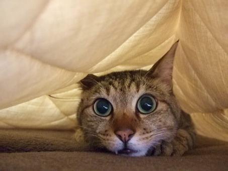 猫 ネコ ねこ 愛猫 もぐる 隠れる ひそめる 逃げる じっとする 顔 アップ 瞳 大きな目 くつろぐ リラックス 快適空間 家ネコ 飼い猫 室内猫 寝そべる 寝る 寝そべった ラグ 動物 目を開けた 表情 まぬけ かわいい ちゃこ 1匹