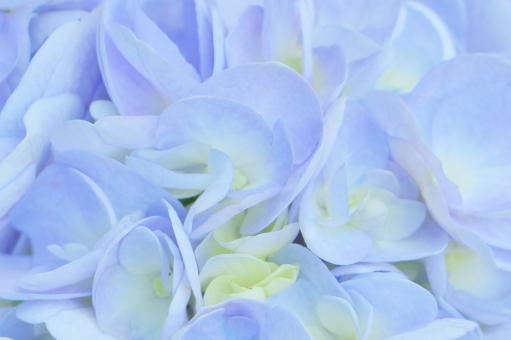 紫陽花 アジサイ 花 花びら 満開 紫 紫色 薄紫 パープル クローズアップ 植物 フラワー flower 自然 背景 壁紙 テクスチャ 可憐 可愛い 淡い ふんわり 綺麗