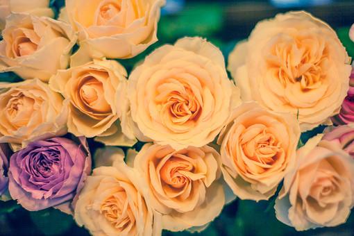 自然 植物 花 花びら バラ 薔薇 ピンク色 桃色 オレンジ色 橙色 淡い パステル 鮮やか 華やか 可愛い 綺麗 沢山 多い 密集 集まる 束 葉 葉っぱ 緑 加工 アップ 満開 咲く 開く 成長 育つ 無人 風景 景色 室外 屋外