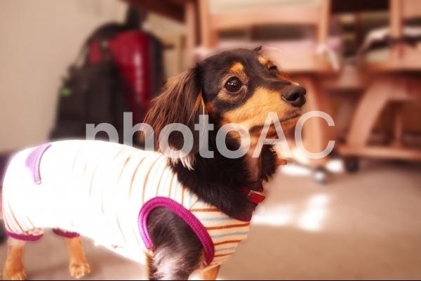 服を着る犬の写真