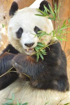 パンダ ぱんだ ジャイアントパンダ 動物 白 黒 動物園 飼育 哺乳綱ネコ目 食肉目 クマ科 ジャイアントパンダ属 中国 雑食性 熊猫 大熊猫 母乳類 笹 生き物 可愛い 毛 毛並み 温厚 笹 上野動物園 食事