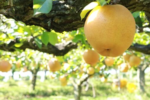 梨狩り なし畑 ナシ農園 梨園の写真
