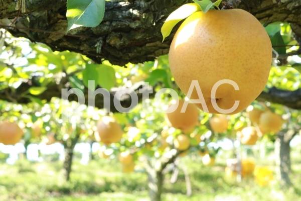 梨狩り なし畑 ナシ農園 梨園 梨の木 梨農園の写真