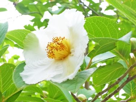 夏椿 夏 椿 花 白 植物 草花 葉 葉っぱ はっぱ 草木 ツバキ 沙羅 シャラノキ 娑羅樹 6月 六月 7月 七月 ツバキ シャラノキ 沙羅双樹