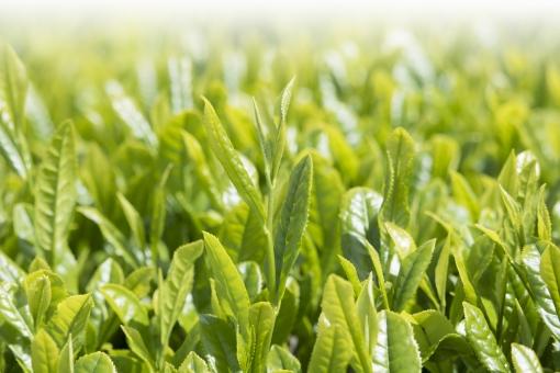 茶 日本茶 煎茶 若葉 新芽 新緑 茶畑 新茶 5月 緑 greentea green tea お茶 芽吹き 萌葱色 八十八夜