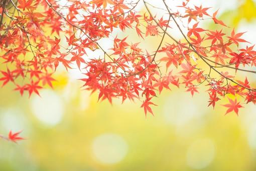 屋外 外 野外 風景 景色 自然 植物 木 樹木 秋 晩秋 紅葉 葉 葉っぱ もみじ モミジ かえで カエデ 楓 赤色 オレンジ色 色づく アップ クローズアップ 枝 鮮やか 和風 日本