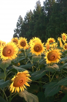 ひまわり畑 ヒマワリ畑 向日葵畑 ひまわり 向日葵 ヒマワリ 花 黄色い花 夏の花 花弁 花びら 植物 夏の植物 季節感 seasonimage シーズンイメージ 自然 緑 夏 夏の風物詩 夏の風景 夏景色 農業 農地 農作物 農産物 sunflower