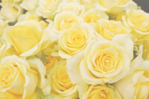 バラ rose flower 自然 植物 ガーデニング 可愛い ガーリー ナチュラル 庭 園芸 女性的 休日 趣味 春 夏 北欧 洋風 家 公園 背景 エレガント 高級感 エレガンス 優雅 豪華 プレゼント 誕生日 花屋さん 生花 レトロ 黄色 yellow パーティー 結婚 結婚式 ウェディング