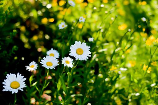 アメリカ 白い花 マーガレット キク科 草花 フランスギク 外国 海外 自然 風景 景色 環境 森 森林 草木 命 生命 葉 葉っぱ 素朴 野生 自生 植物 緑 茎 蕾 つぼみ 花びら