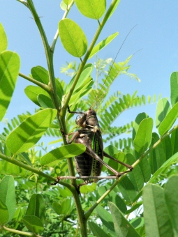 トノサマ 殿様 草原 春 夏 夏休み 観察 草むら 雑草 理科 青空 昆虫 虫 ムシ 緑 グリーン 生物 バッタ