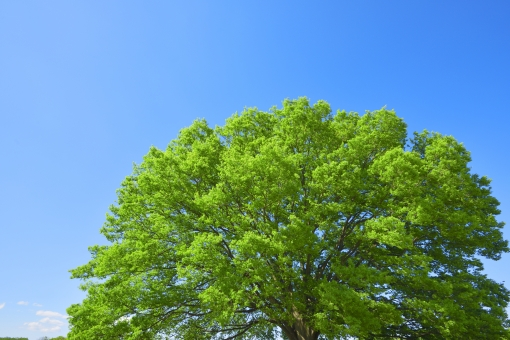 青空 空 雲 樹木 木 植物 青 晴れ 晴天 背景 背景素材 風景 光 緑 グリーン ケヤキ 欅 癒し 明るい 休憩 休日 休む 大木 葉 やさしい テクスチャ テクスチャー