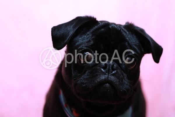 黒いパグの写真