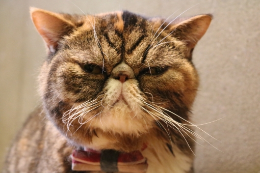 部屋 屋内 アップ 正面 かわいい 口 表情 カメラ目線 見つめる 怒る ペット 動物 哺乳類 可愛い カワイイ 茶色 鼻 ネコ 猫 家猫 髭 ヒゲ 鋭い ブラウン 顔 目 しわ 飼い猫 シワ 睨む ボス 一重 エキゾチック 子猫 仔猫 肉球 怒り ストレス 短毛 しかめっ面 眉間 ブサイク 猫耳 哺乳動物 不機嫌 猫目 睨みつける 小太り 蝶ネクタイ 不細工 ブサカワ 吉祥寺 短毛種 すっぴん 細目 むくみ 子ネコ ぶさかわ こねこ 子ねこ デブ ブス 猫の日 小猫 猫カフェ 茶猫 neko ブタ鼻 室内飼い コネコ 猫背 猫ブーム 二重顎 二重あご つり目 こわもて エキゾチックショートヘア ぺちゃんこ 怒る猫 中肉 中背 豚鼻 猫ヒゲ 茶とら猫 怒った猫